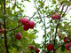 Coldiretti Piemonte: al via la raccolta delle mele