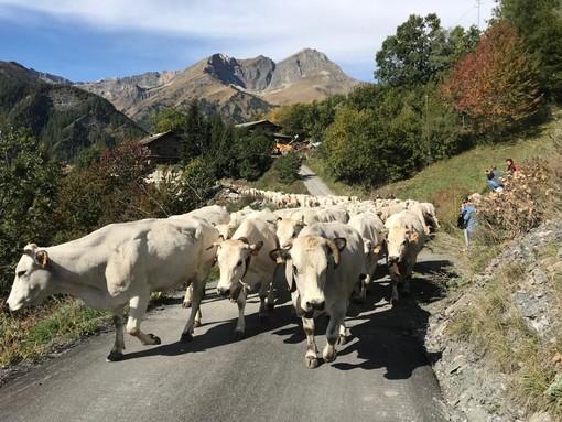 """""""Caluma el vache"""" a Elva: lo spettacolo del ritorno delle mandrie a valle con Confagricoltura"""