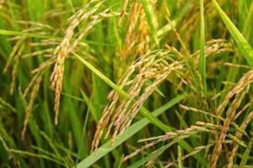 """Coldiretti Piemonte sul riso: """"Assurdo agevolare importazioni da Cambogia"""""""
