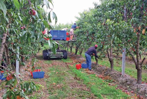Lavoratori stagionali della frutta in una foto di repertorio di Confagricoltura Cuneo